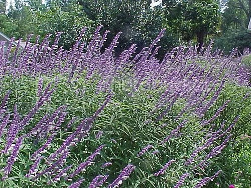 Image result for sage plant