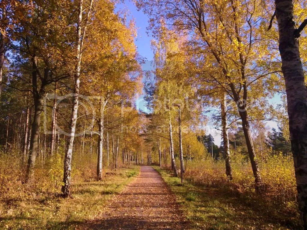 Yellow birch lined path