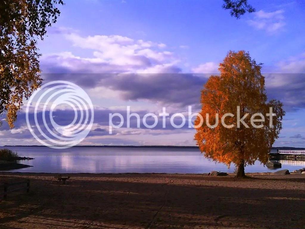 Golden leaves on the shores of Vänern