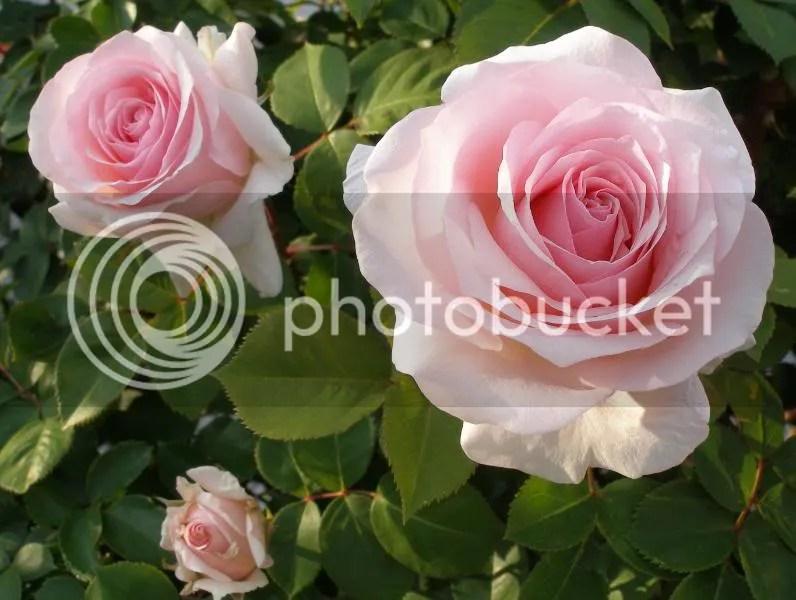 Buck Roses