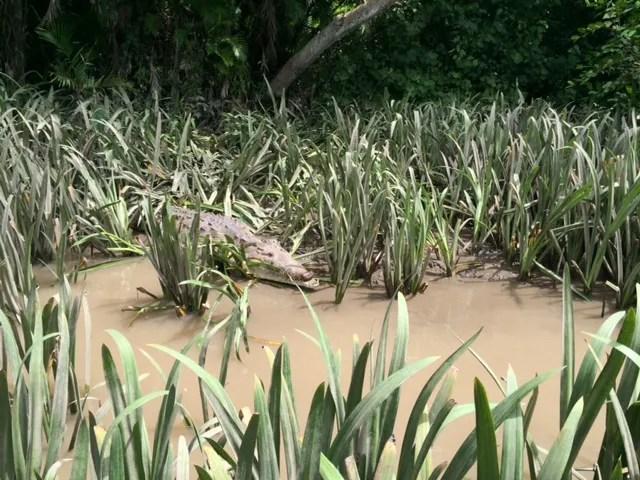 photo Alligator-CostaRica-PaleVerdeNP-10-16-14_zps0eee4084.jpg