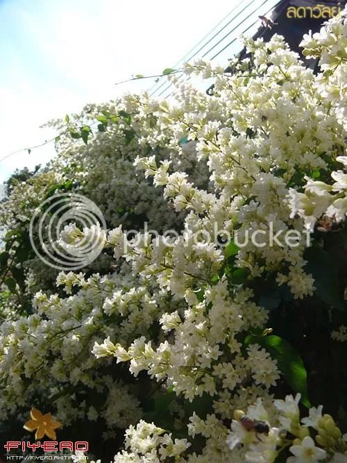 ลดาวัลย์, ลัดดาวัลย์, ลดา, ลัดดา, Porana volubillis, Snow vine, snow creeper, bridal vine