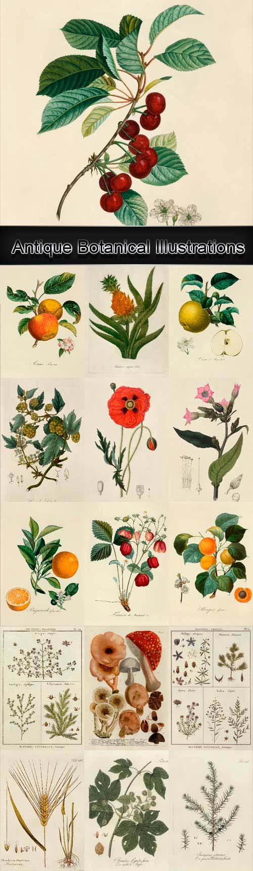 Antique Botanical Illustrations 1640-1900