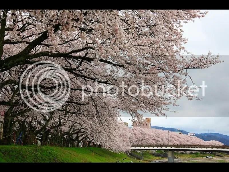 sakura.jpg picture by michellenhm