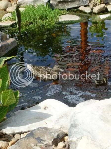 Ducks with Koi
