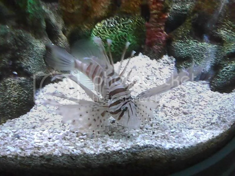 Lion Fish at EPCOTs The Sea