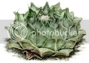 Obregonia dengrii - artichoke cactus