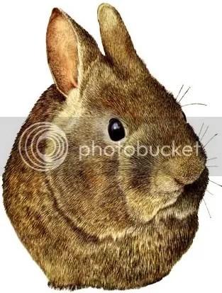Romerolagus diazi - Volcano rabbit