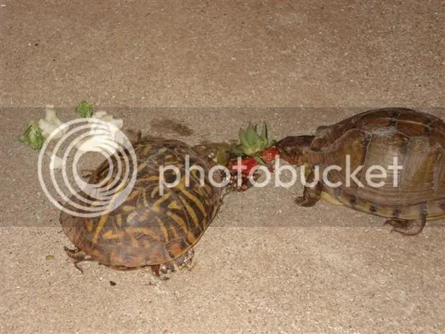 Free range box turtles