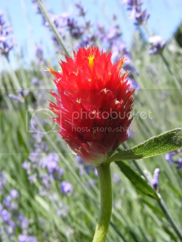 A bright red flower against a purple background