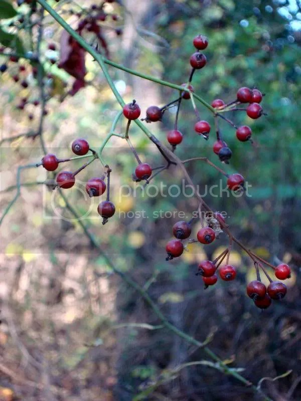 The last of the fall berries