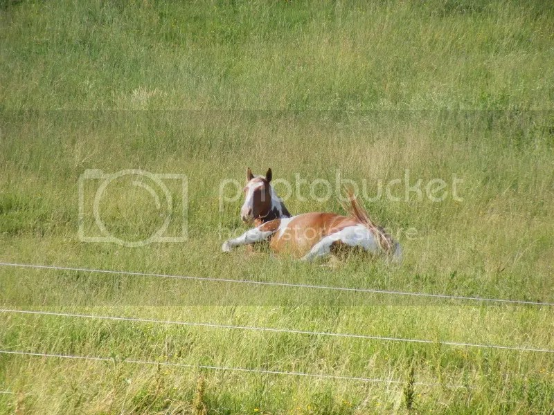 horse laying in the grass