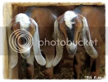 Attched TBN Goats 9-12-13 photo d1a5e3d9-76bb-4f28-86b7-771dec7857c4_zps3ec003ef.jpg