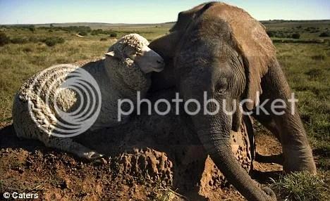 Bayi Gajah dan Domba