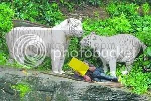 """""""harimau putih makan manusia"""""""