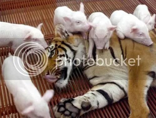 Harimau Betina dan Anak - Anak Betina