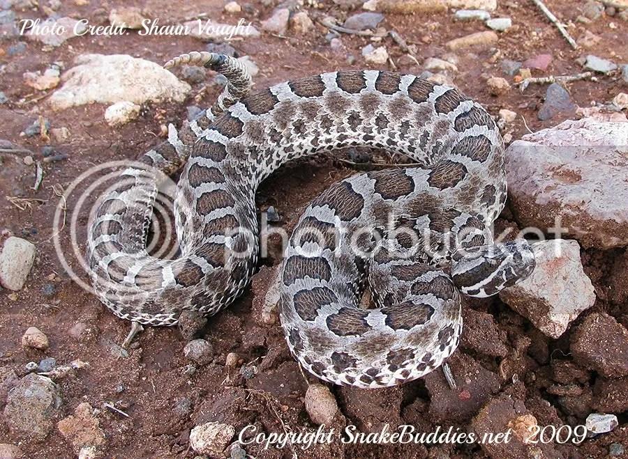Desert Massasauga Rattlesnake (Sistrurus catenatus edwardsii)