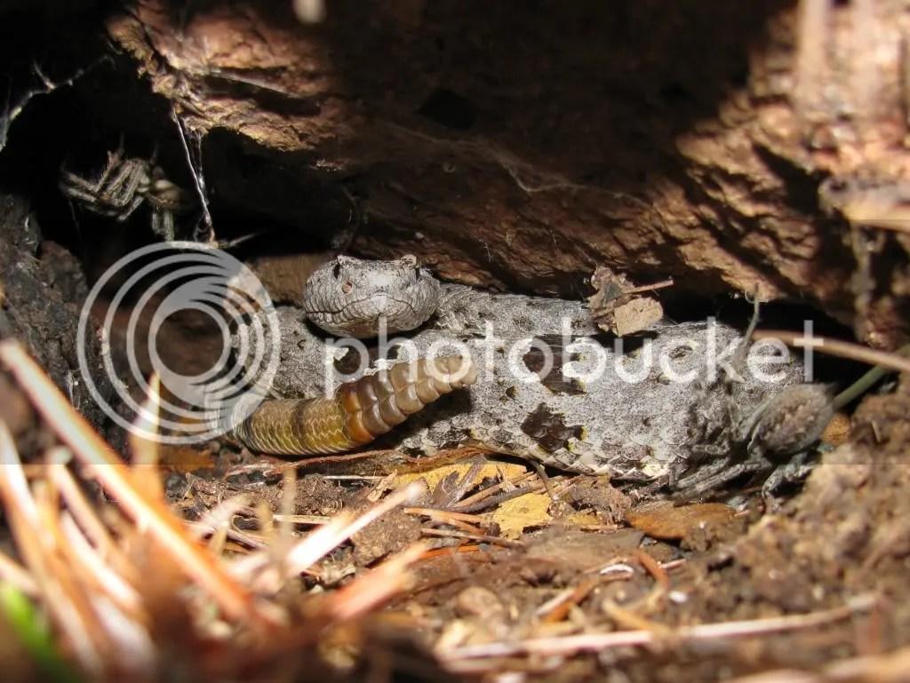 Banded Rock Rattlesnake (Crotalus lepidus)