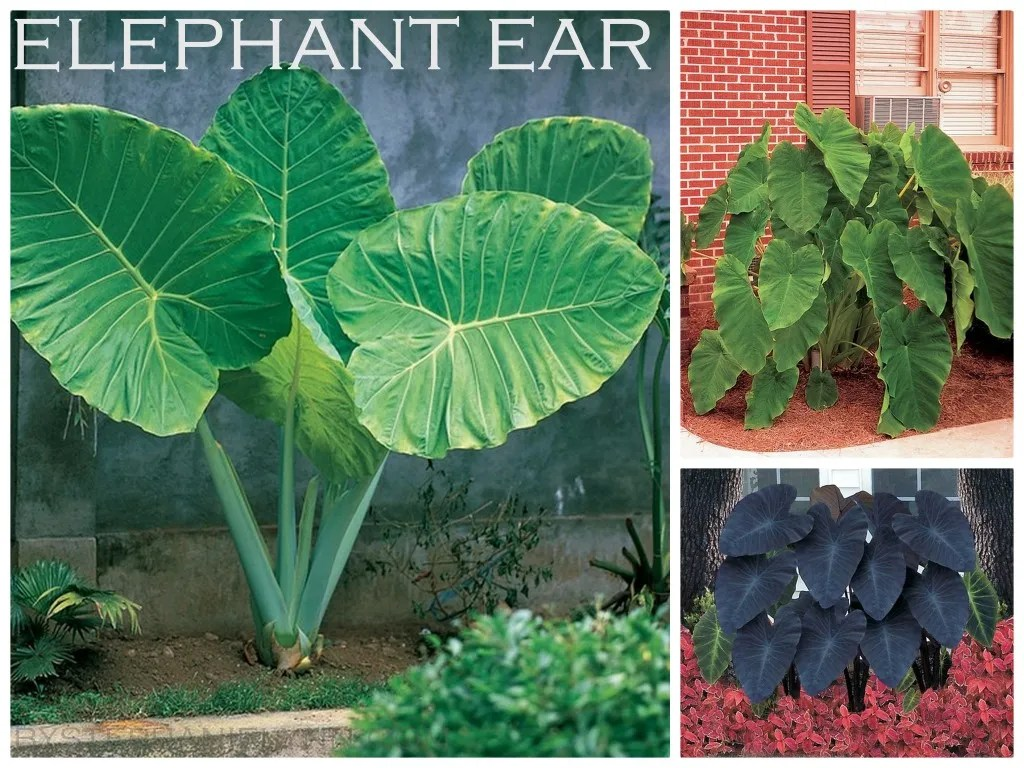 Upright Elephant Ear Care