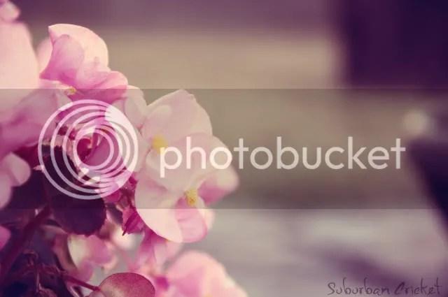 The Pink Begonias