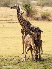 giraffesmadita1.130451.jpg