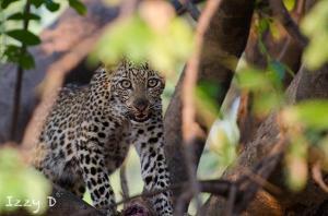 leopardIzzy4.154313.jpg