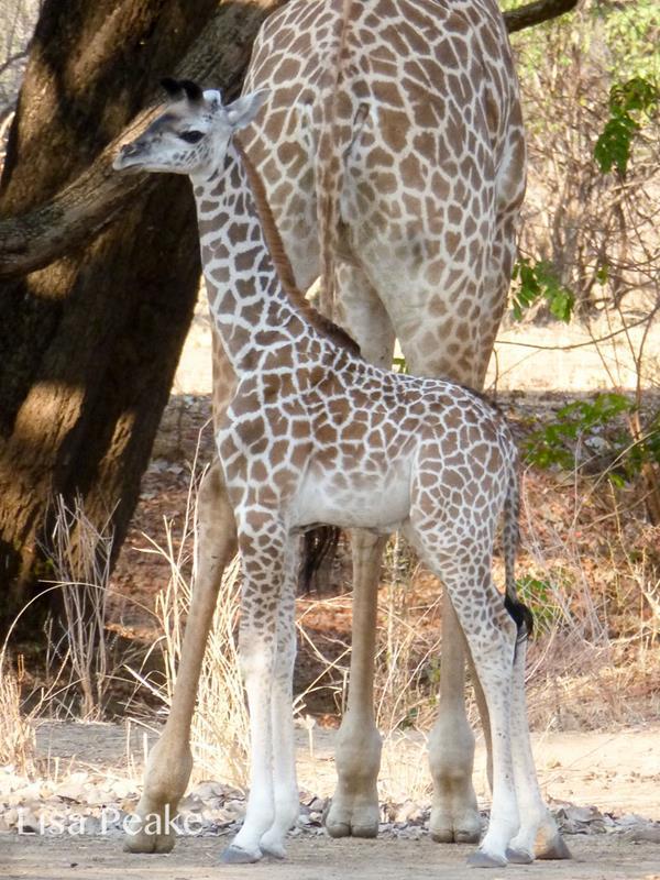 GiraffeLisa2.091722.jpg