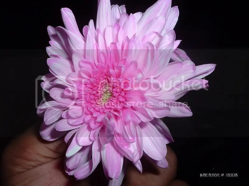 Pink is not the natural colour of this flower but with a little experiment and a pink dye, anything is possible
