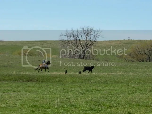 Playin' with cattle with horse and dog.