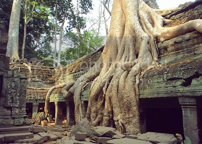 Ta Prohm roots in Siem Reap, Cambodia