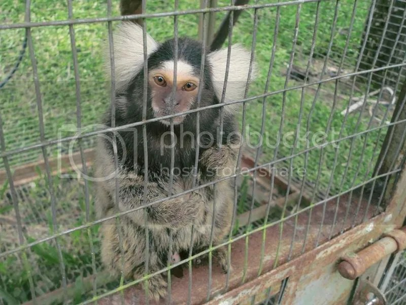 Baby koala-like mammal spotted at The Hill Hotel & Resort in Sibolangit, Deli Serdang, North Sumatra