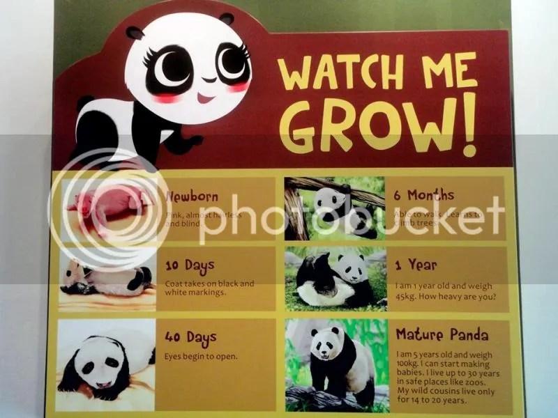 Giant Panda's lifecycle