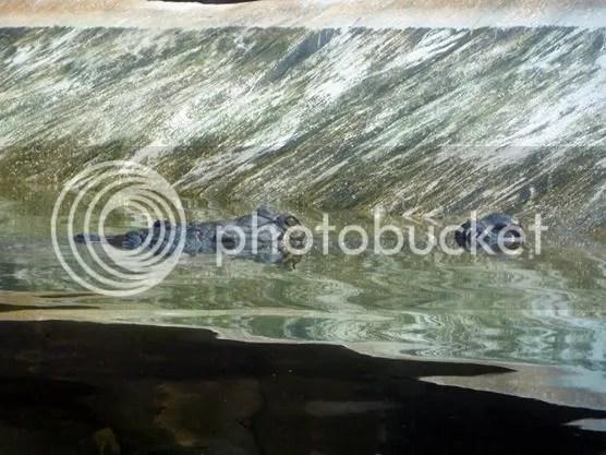 Indian gharial in Ganges River