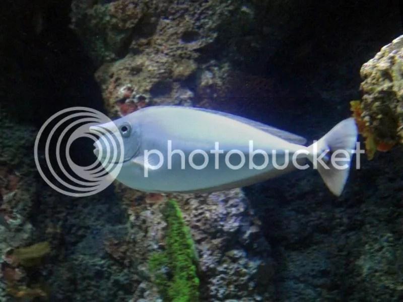 Unicorn fish in S.E.A. Aquarium Sentosa