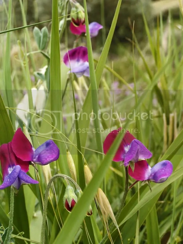 Lathyrus odoratus selvatico -Siderno diga