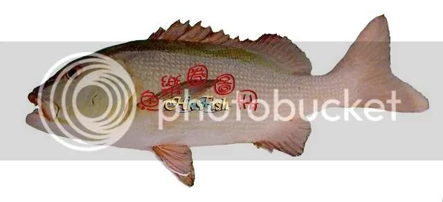 紅鰽 - 魚樂圈圖冊 - 香港釣網會 - Powered by Discuz!