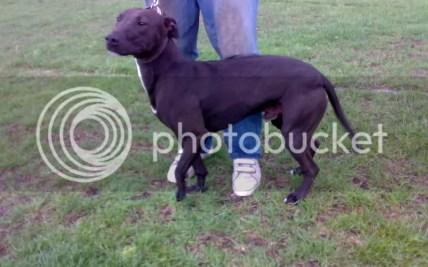 Greyhound Pit Bull Cross | Hot Trending Now