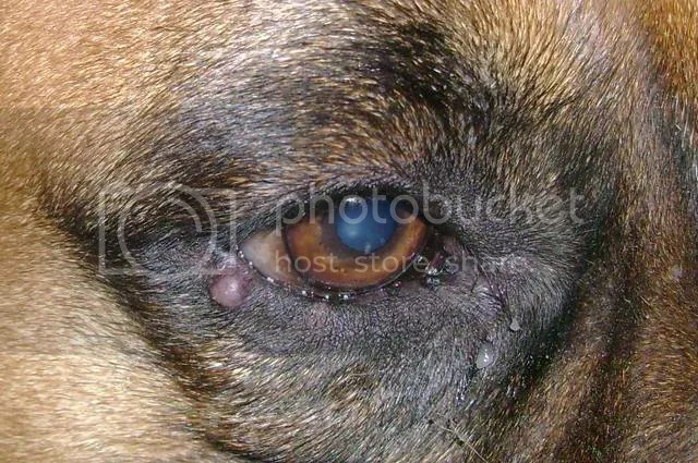 Lump By His Eye Boxer Forum Breed Dog Forums
