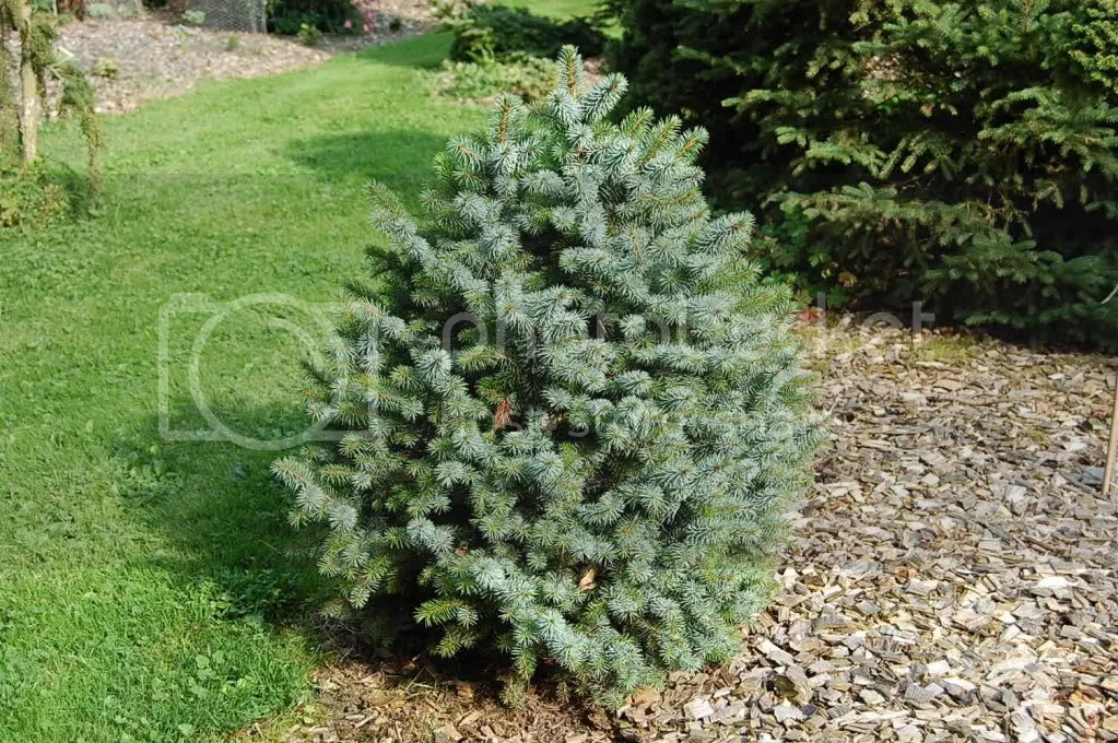 Image result for picea sitchensis