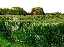 this is sorta like the cornfields at mah grandmas. (: