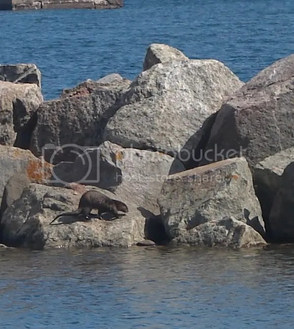Otter in the Grand Marais Harbor (2009-06-20)