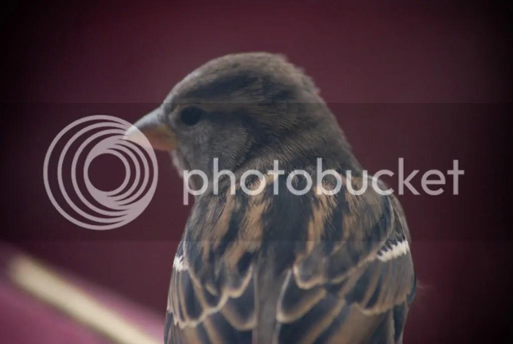 Sparrow photo: Sparrow Sparrow.jpg
