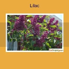 Purple Lilac Shrub