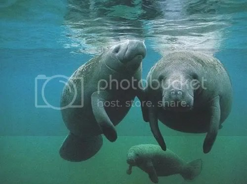 Who knew manatees mated during lightning storms?