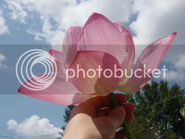 Rosea Plena Lotus