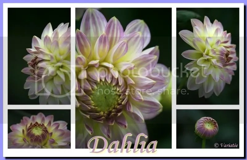 dahlia.jpg picture by Riaphoto