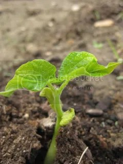 Contender Bush Bean Seedling