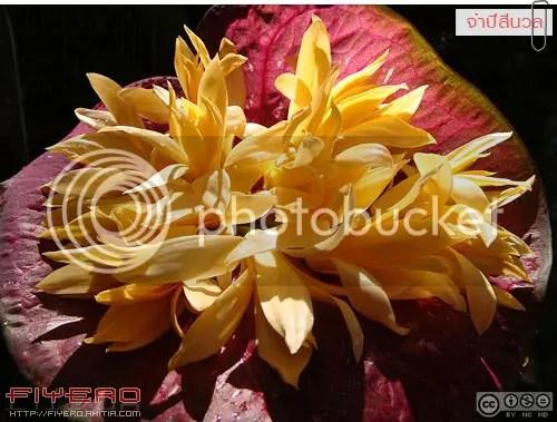 จำปีสีนวล, จำปี, จำปา, จำปีจิ๋ว, ไม้ดอกหอม, แมกโนเลีย, วงศ์จำปี, Magnolia x alba Sinuan, Magnolia x alba X Magnolia champaca, Magnolia hybrid, ต้นไม้, ดอกไม้, aKitia.Com