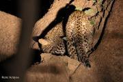 leopardcubrene1.185105.jpg