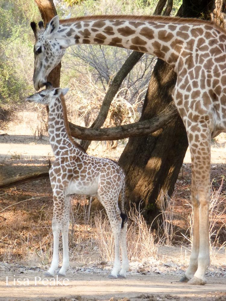 GiraffeLisa1.092110.jpg